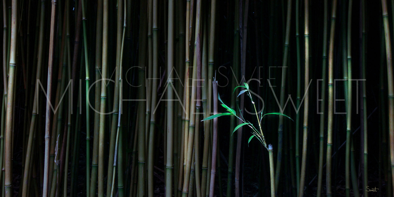 Bamboo forest with dark background