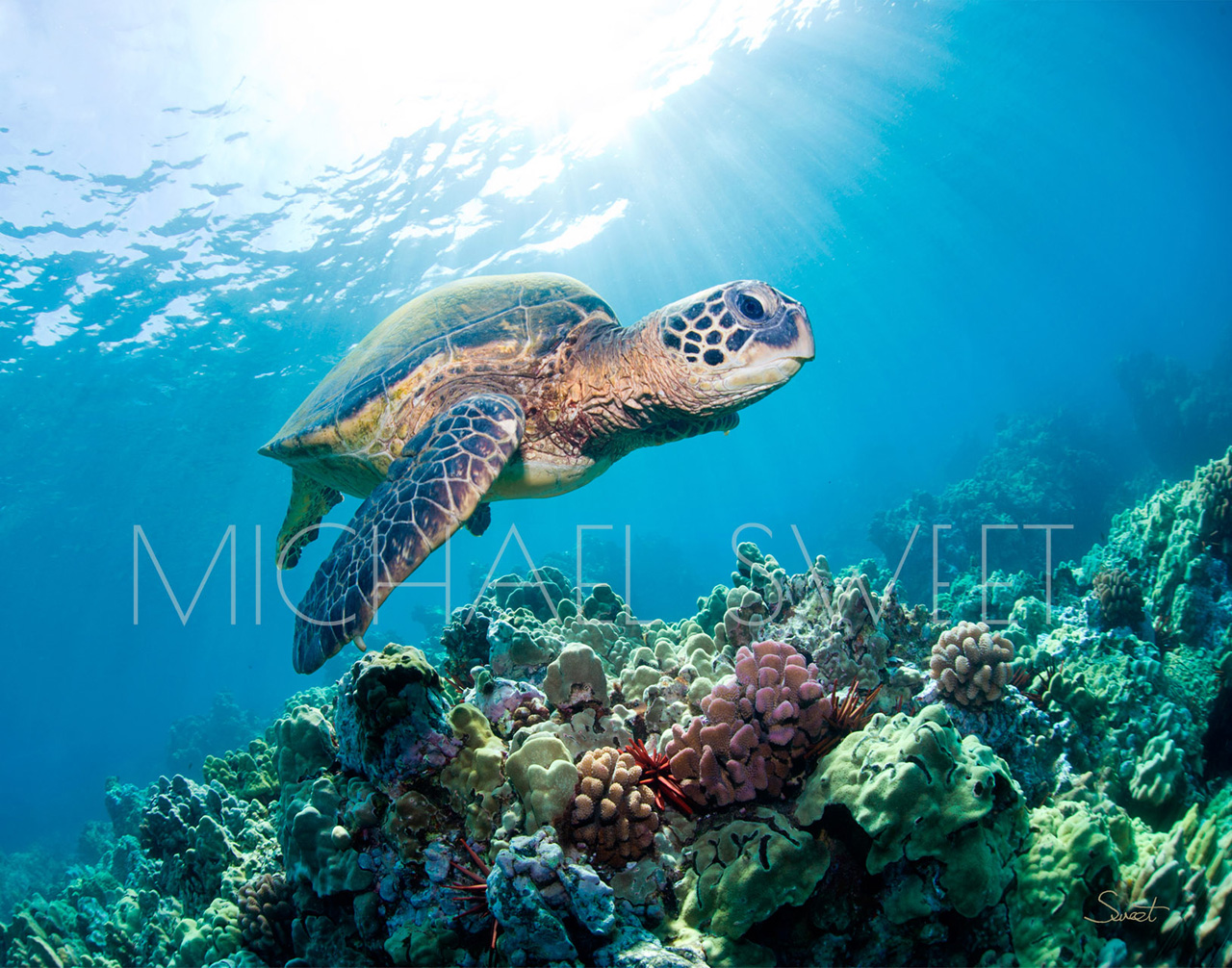 Hawaiian sea turtel swimming above a coral reef
