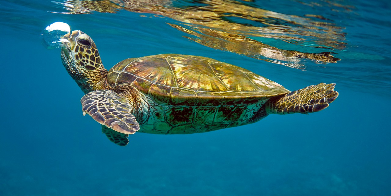 Mr. Bubbles Honokeana Cove by Sandra Greenberg turtle (honu) swimming under water