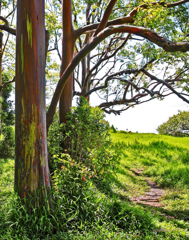 Painted Trees with Path (Eucalyptus) by Sandra Greenberg