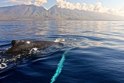 West Maui Mugging by Sandra Greenberg whale near boat