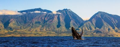 Perfect Day West Maui Mountains by Sandra Greenberg whale breaching in front of West Maui Mountains