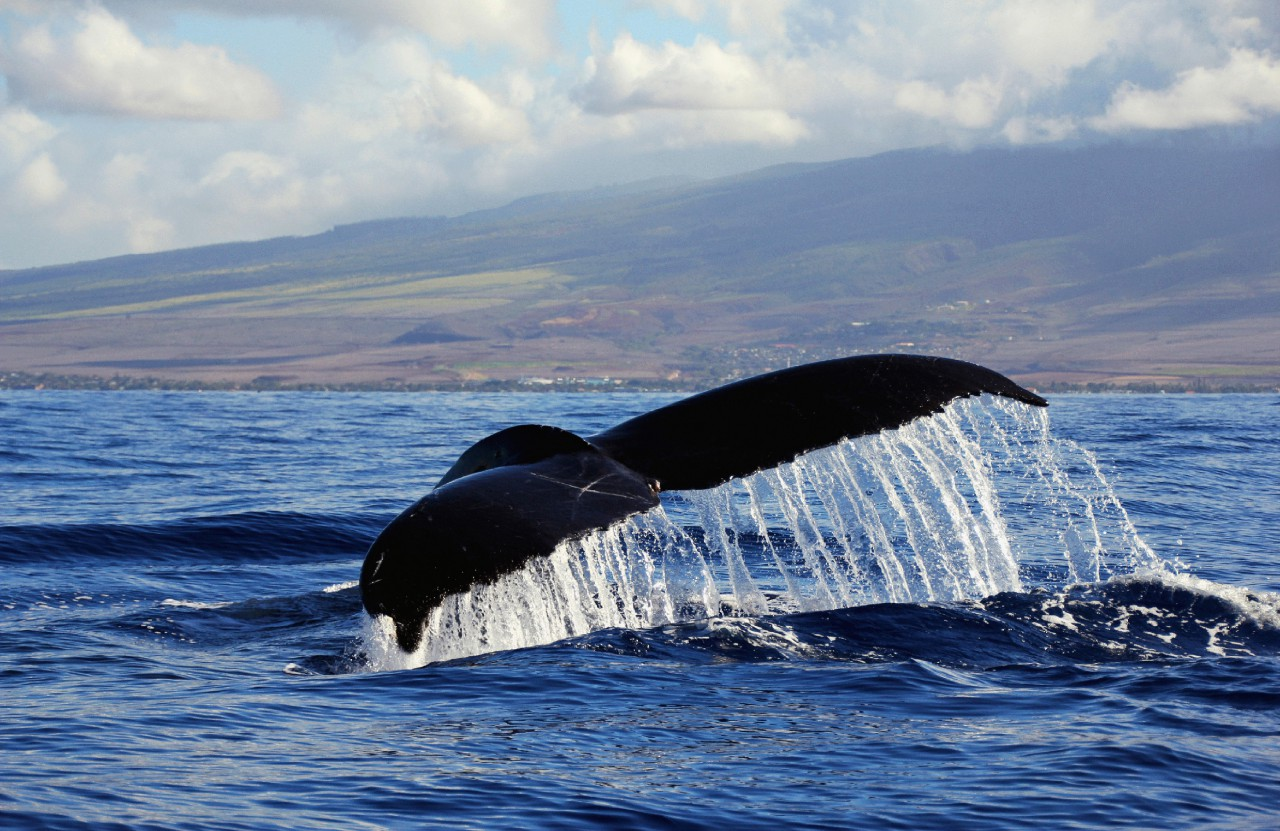 West Maui WhaleTail by Sandra Greenberg whale tail