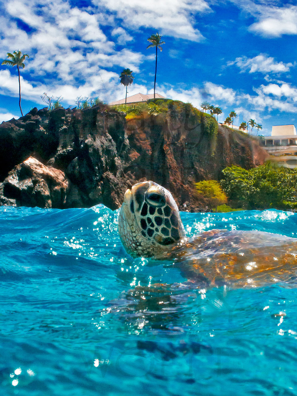 Aloha by Marty Wolff turtle swimming