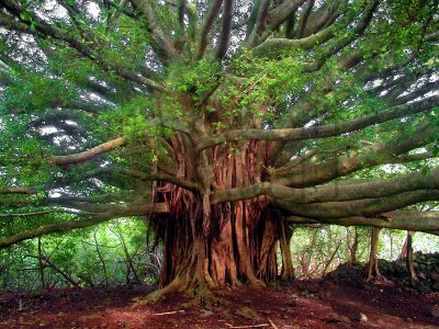 Big Ol Tree Maui by Marty Wolff banyan tree