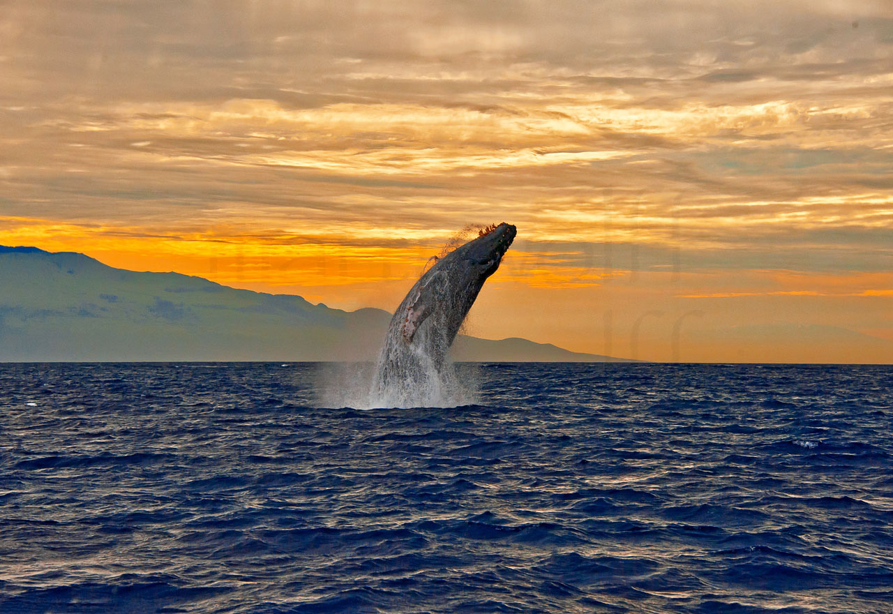 Jump for Joy by Marty Wolff whale breaching