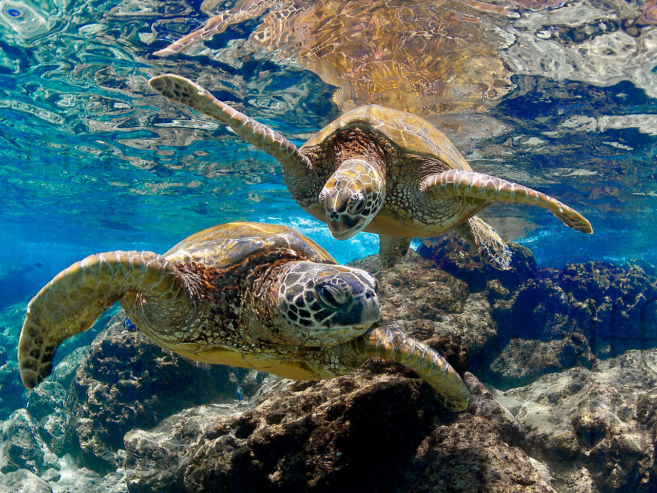 Playmates by Marty Wolff two turtles swimming underwater