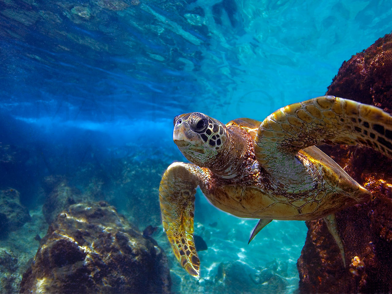 The Boss by Marty Wolff turtle swimming underrwater