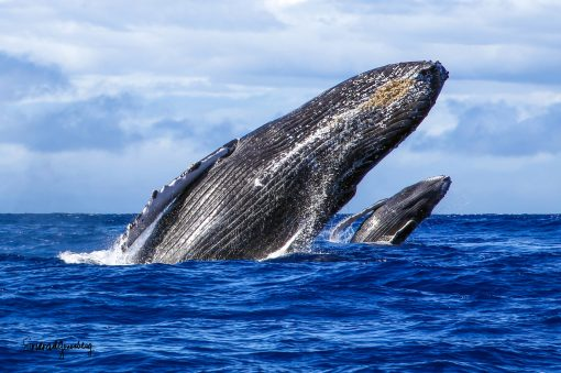 a photo of two breaching whales. One closer than the other.