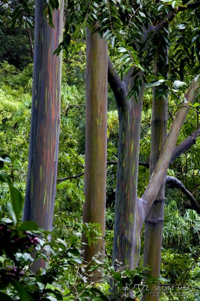 Painted Forest by Scott Mead rainbow eucalyptus trees