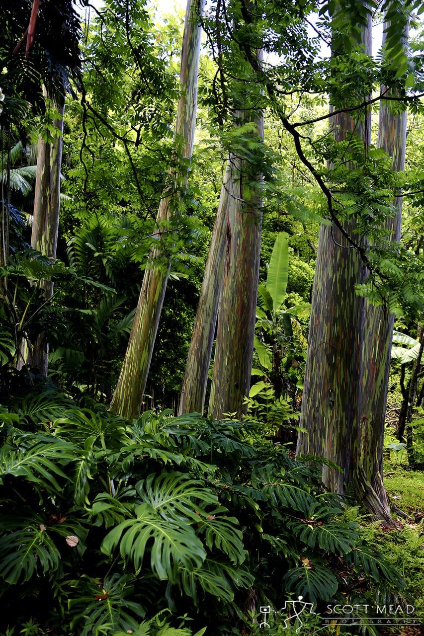 Rainbow Eucalyptus by Scott Mead
