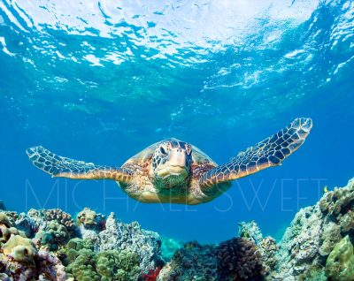 An underwater image of an adult turtle swimming straight on, floating about a food above a beautiful bed of coral