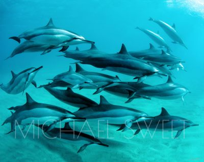 An underwater photo of approximately a dozen dolphins swimming in a group towards the right