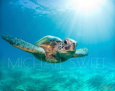 An adult turtle looking straight on while swimming in the ocean, and sunbeams casting around him
