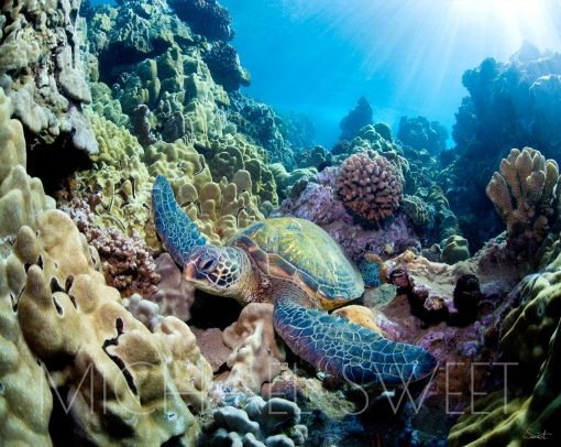 An underwater photo of an adult turtle lying atop a vibrant and large bed of colorful coral