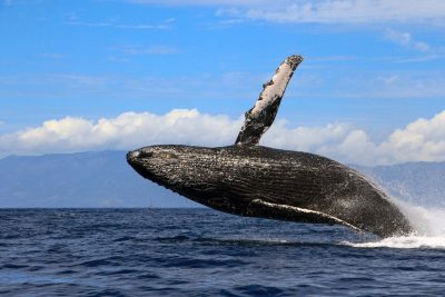 a humpback whale jumping out of the water with almost its full body visible. In front of a row of white clouds