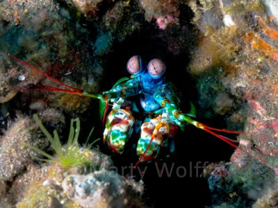 "A mantis shrimp is too colorful to hide among the coral in this photo titled ""Alien"" by Marty Wolff."
