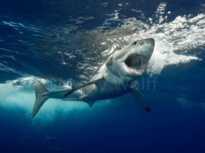 """A great white shark just below the ocean's surface stares with its mouth agape in this photo titled """"Apex Majesty"""" by Marty Wolff."""