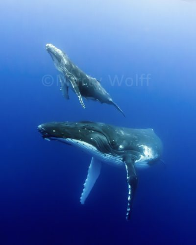"""A baby humpback whale heads for the surface while mom watches closely in this photo titled """"Bonded"""" by Marty Wolff."""