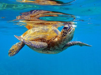"A sea turtle surfaces for air in Maui, Hawai'i, in this photo titled ""Breathing"" by Marty Wolff."