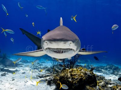 "A lemon shark just above the ocean floor stares straight at the camera in this photo titled ""Lemonface"" by Marty Wolff."