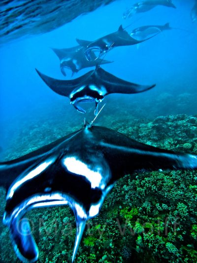 "A squadron of manta rays heads for deeper waters in this photo titled ""Mantatrain"" by Marty Wolff."