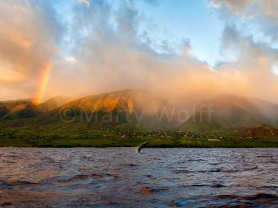 "A rainbow highlights a humpback whale breaching in this photo titled ""Maui Wowie"" by Marty Wolff."