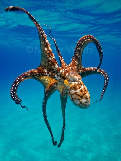 """A spotted octopus in Hawai'i is on full display in this photo titled """"Octo"""" by Marty Wolff."""