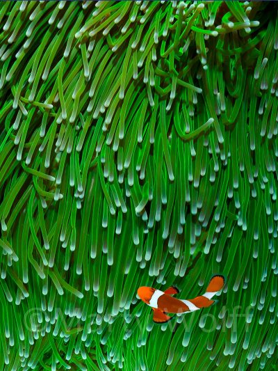 "A clown fish is dwarfed by its anemone home in this photo titled ""The Green Wall"" by Marty Wolff."