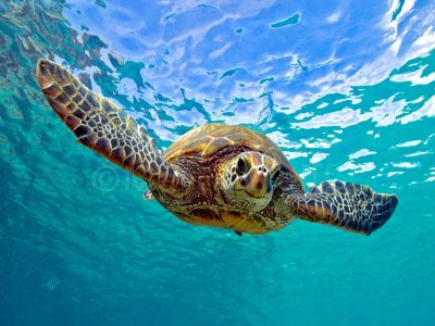 "A sea turtle swimming stares straight at the camera in this photo titled ""Turtle Facial"" by Marty Wolff."