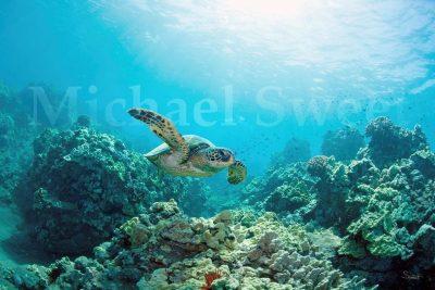 """""""Honu Reef"""" by Michael Sweet"""